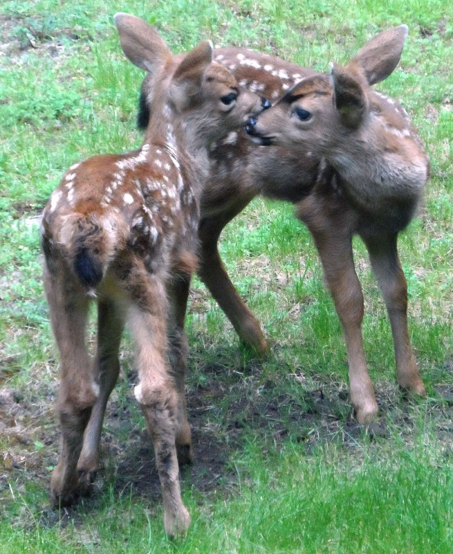 2014-5-fawns