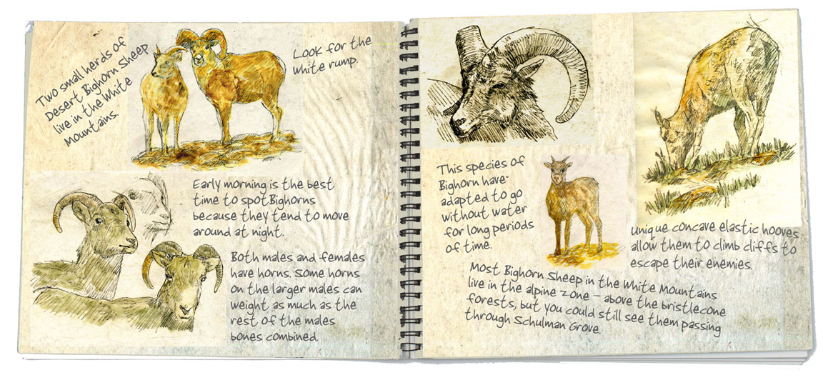 5-Bighorn-Sheep-double-page