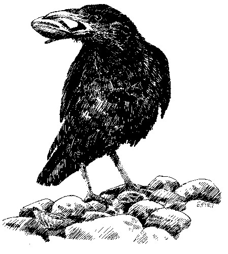 Crow holding clam