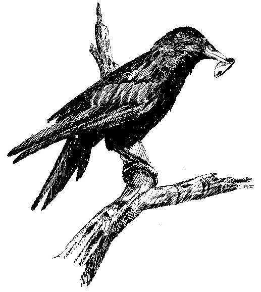 Crow in tree with shell