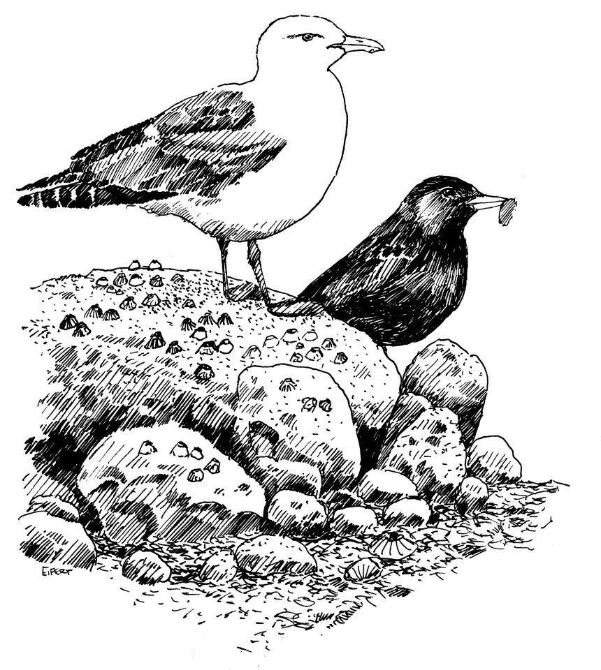 Gull and crow
