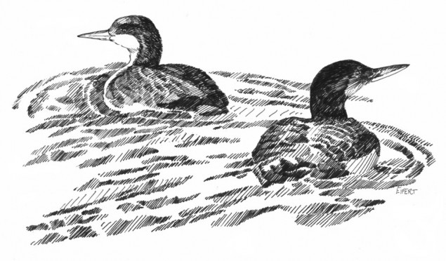 Pacific Loons