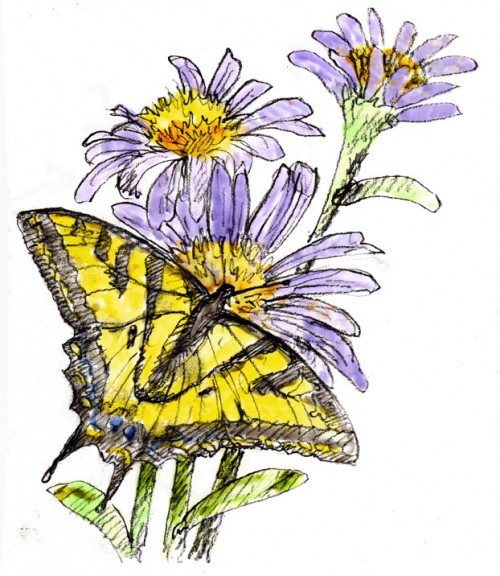Swallowtail-and-Aster