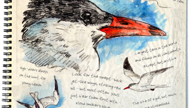 Caspian Tern – My 48-North Story for August 2015