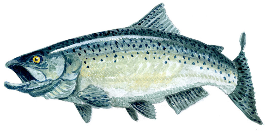 Ludington-Chinook-Salmon